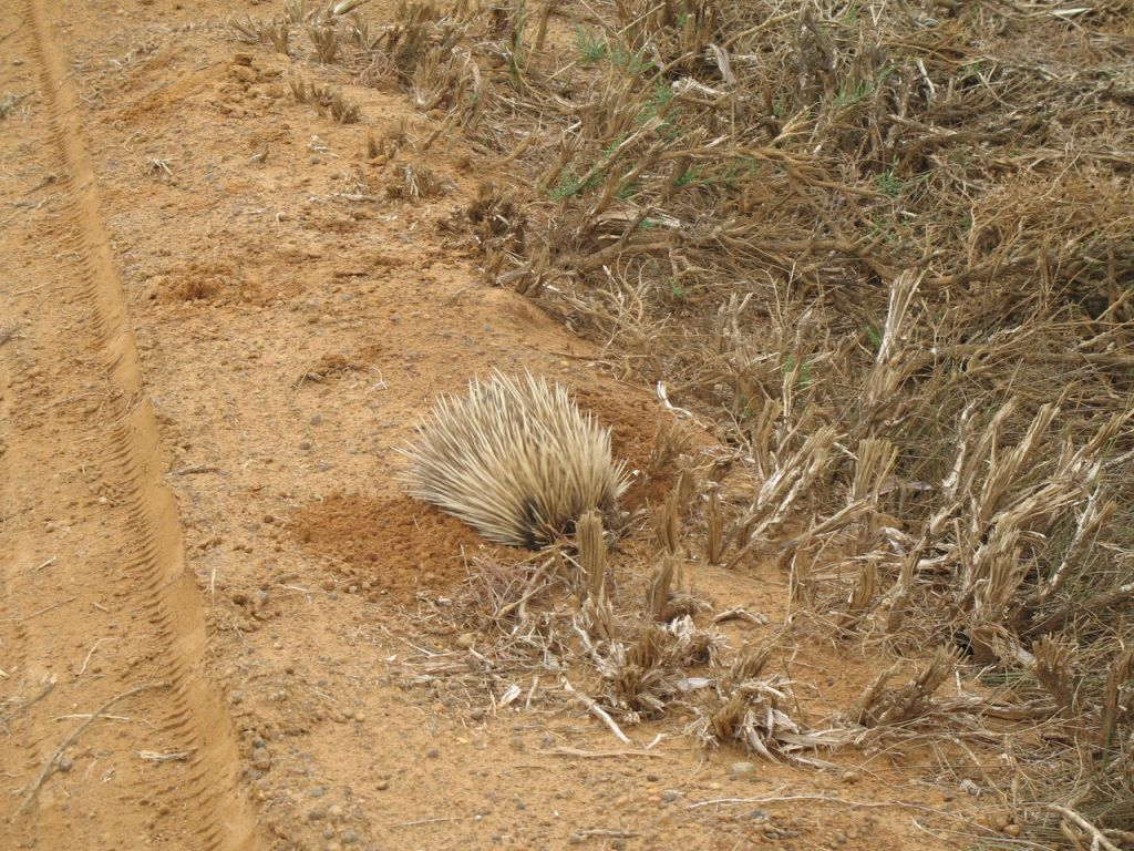 An Echidna trying to burrow down out of sight. - author Ian Kent