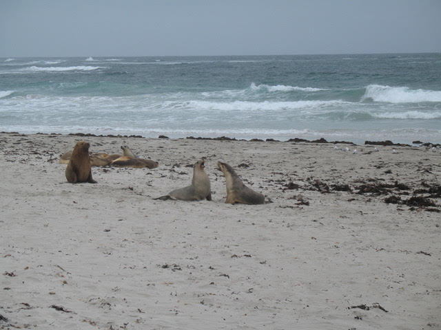 Sea Lions scrapping - Author Ian Kent