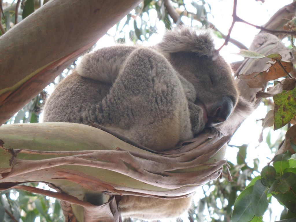 Koala Sleeping - author Ian Kent - Kangaroo Island